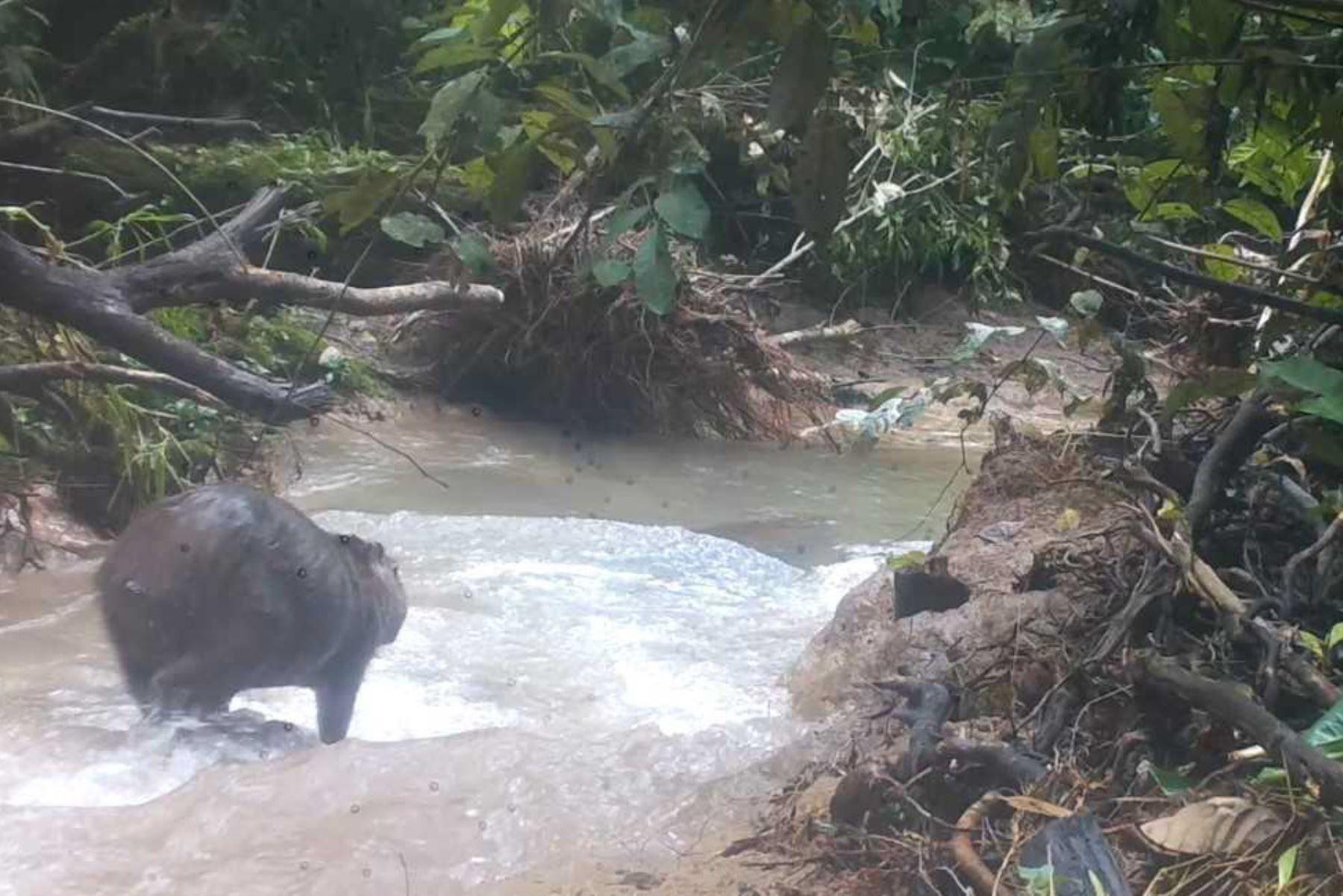Ronsoco avistado en el Parque Nacional Tingo María por cámaras trampa.