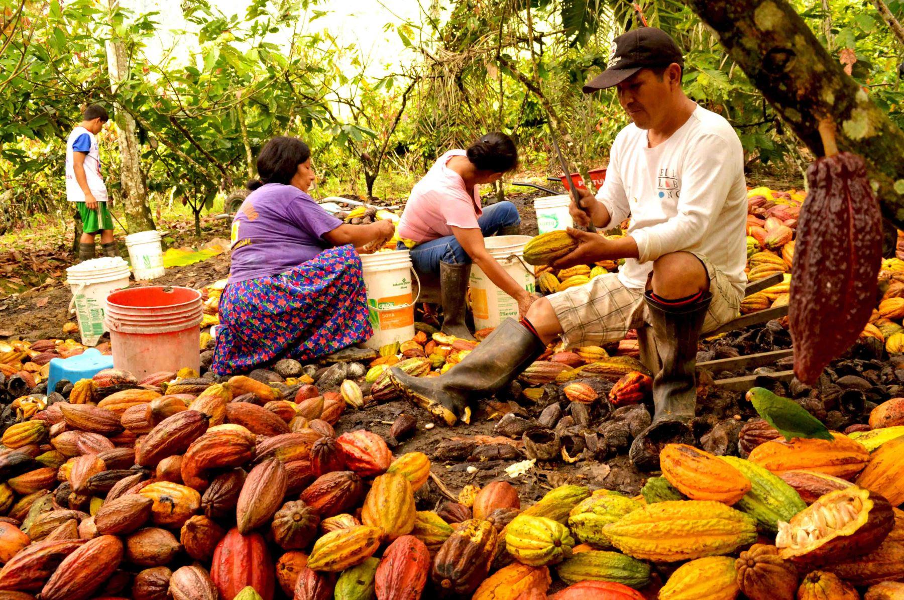 Cacao. Foto: ANDINA/Difusión