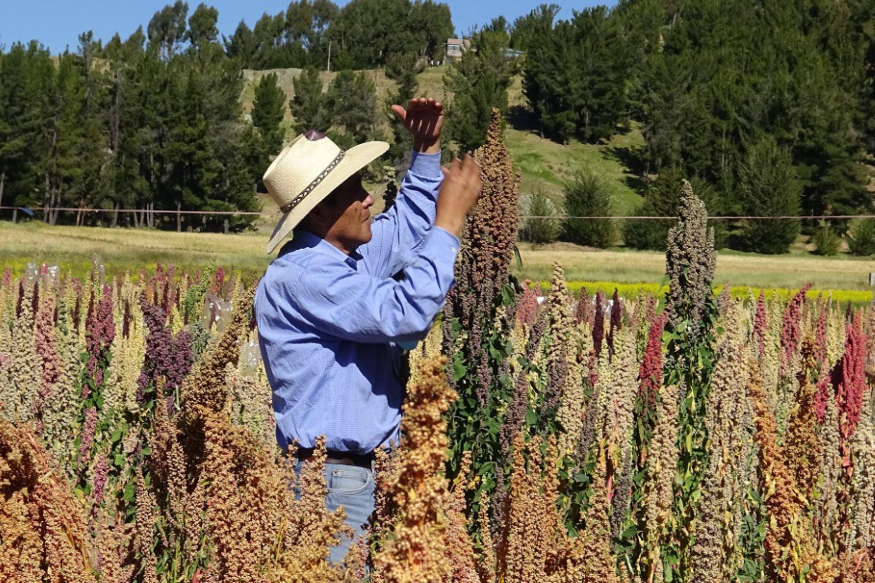 Cultivo de quinua.Foto:  ANDINA.