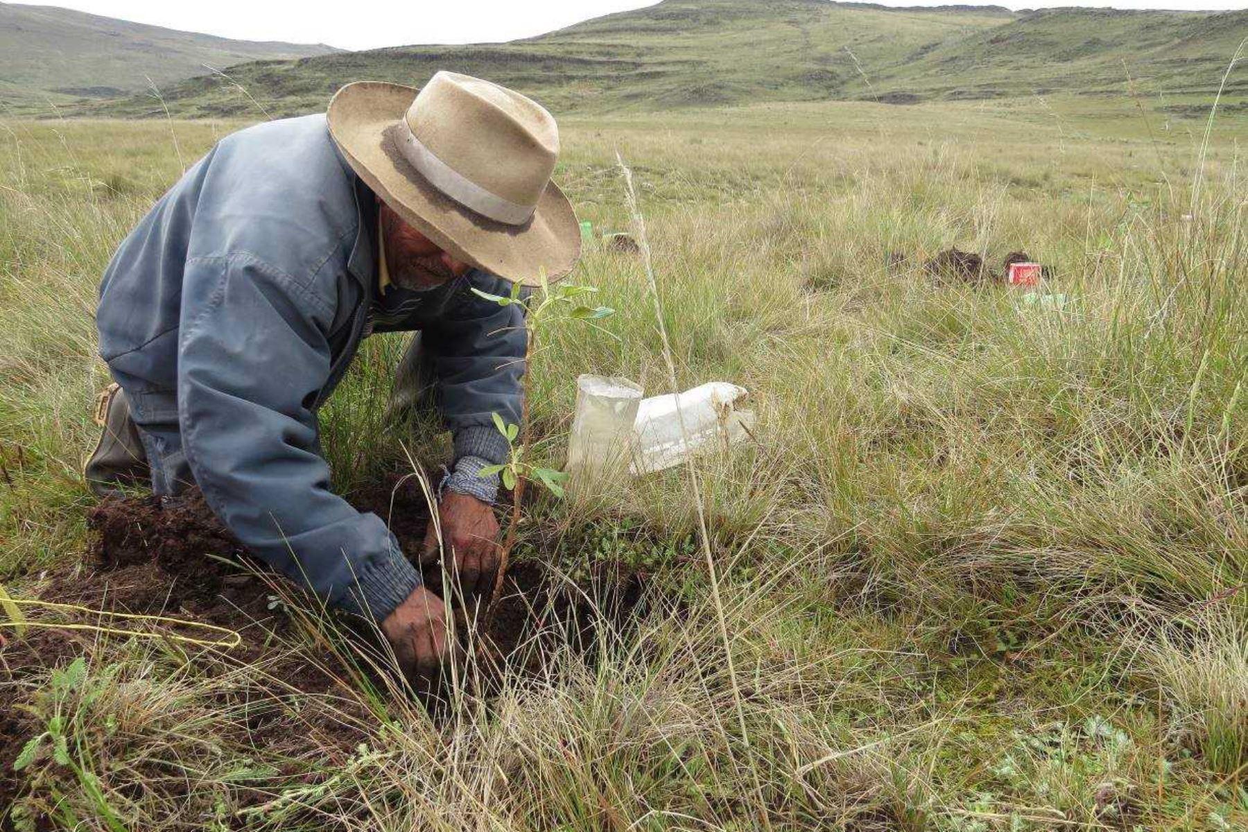 El Servicio Nacional de Áreas Naturales Protegidas por el Estado (Sernanp) encabezó la reforestación de más de 1,500 plantones de la especie nativa quenuales, en dos hectáreas del sector Chalacpampa, en el Santuario Nacional de Calipuy, ubicado en la región La Libertad.