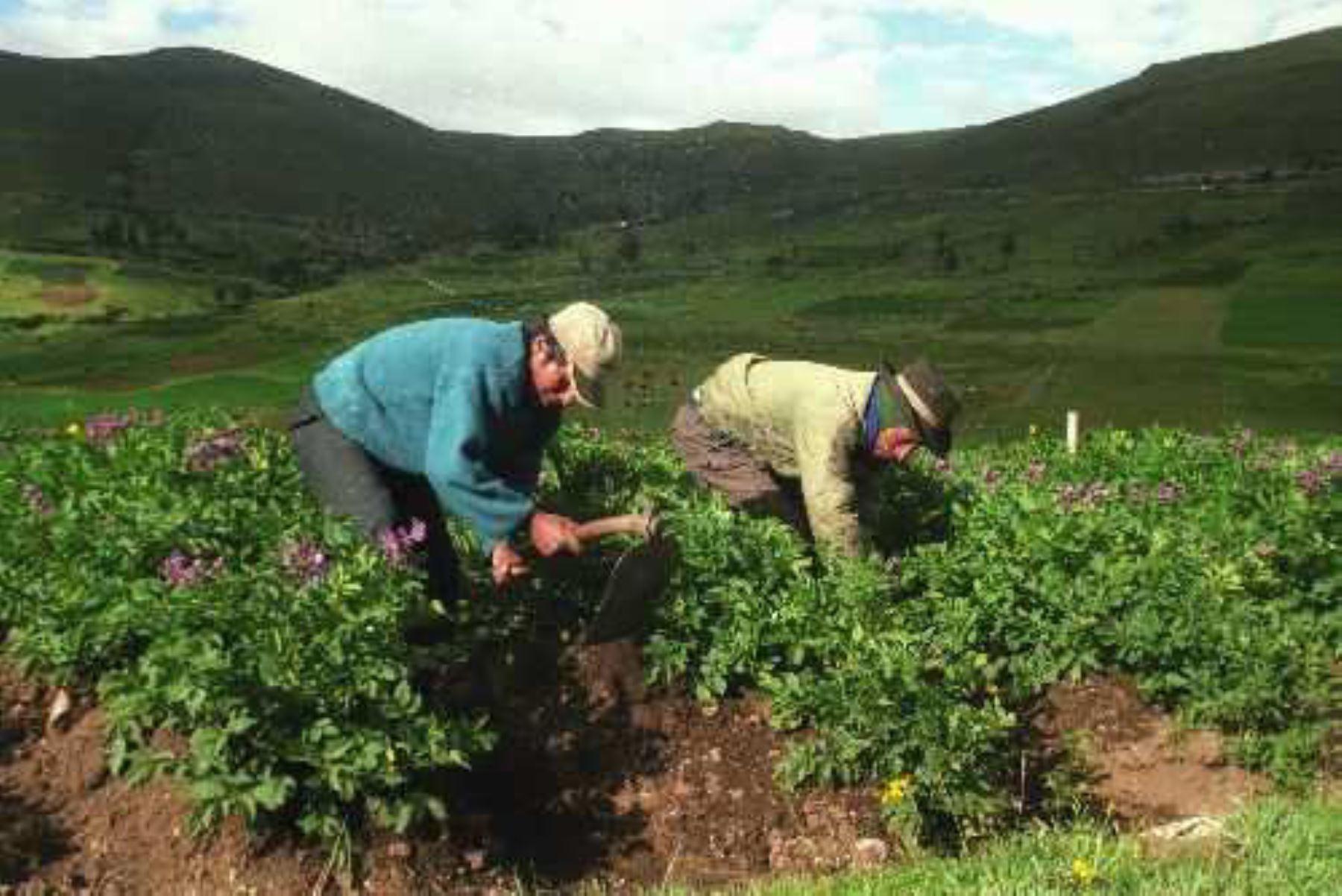 Los pequeños y medianos productores de las regiones de Cusco, Junín, Piura y San Martín, en una primera etapa, y luego los 25 departamentos del país, accederán gratis a información agropecuaria precisa y actualizada mediante el uso de las tecnologías de la información y comunicación (TICs) para optimizar la producción y comercialización de sus cultivos. ANDINA/Vidal Tarqui