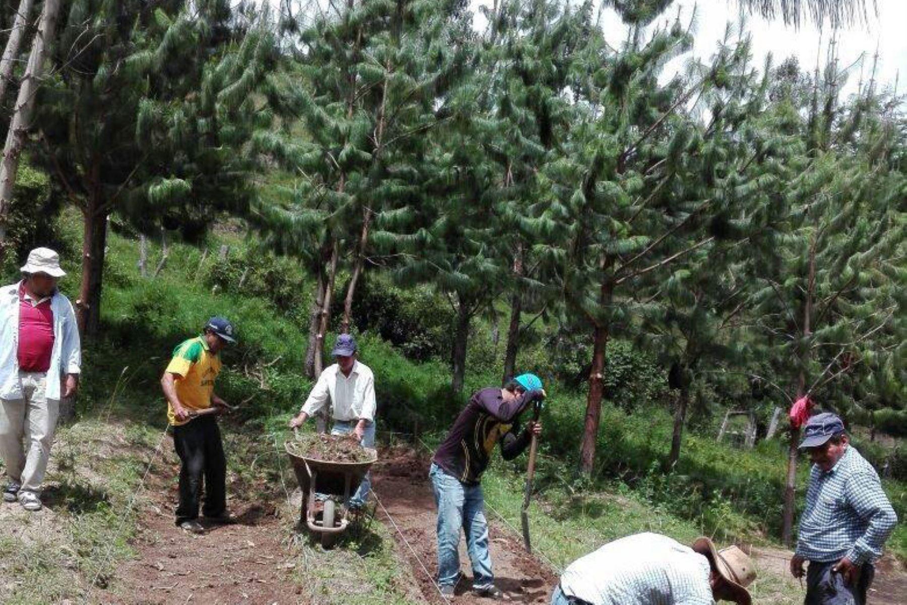 Con 300,000 pinos reforestarán zonas afectadas por la tala ilegal en la cuenca del Zaña en Lambayeque y Cajamarca. ANDINA