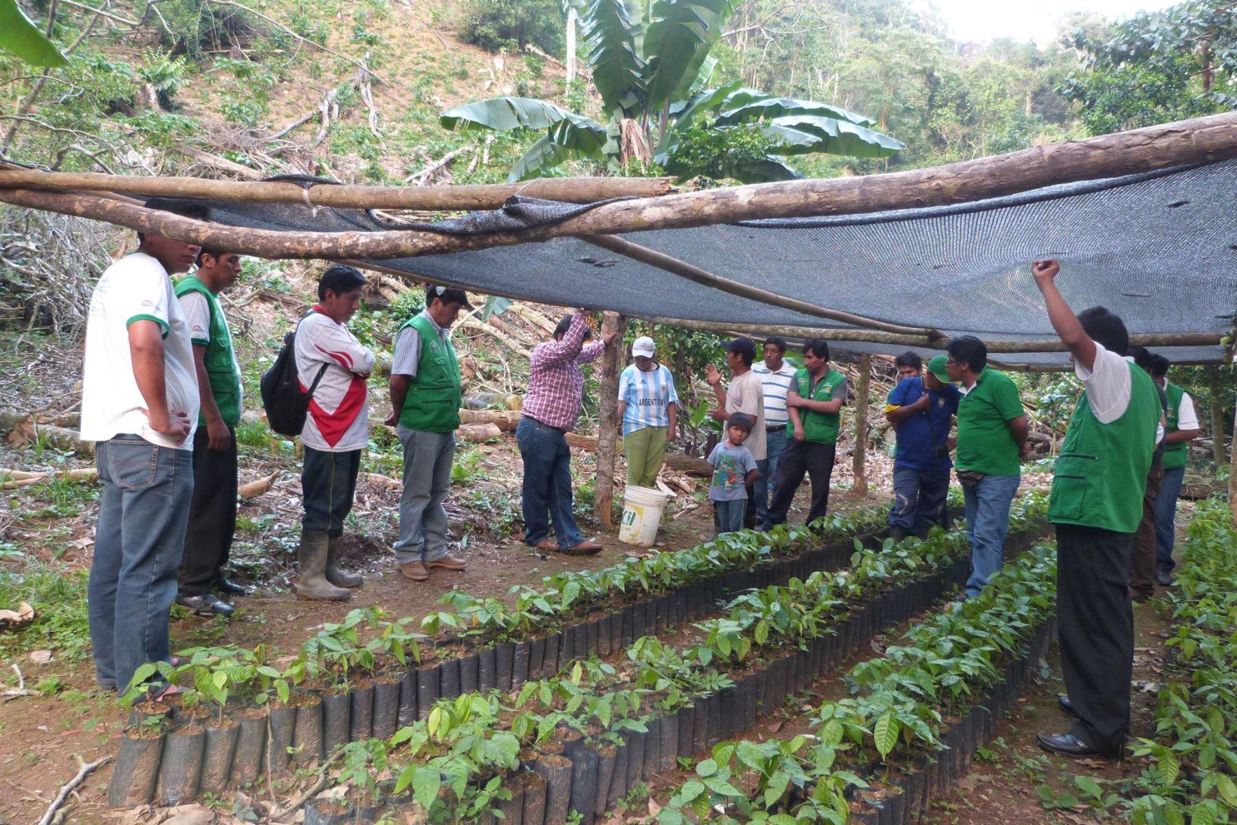 Ya son más de 6,000 las familias de Puno que cultivan café y cacao. ANDINA