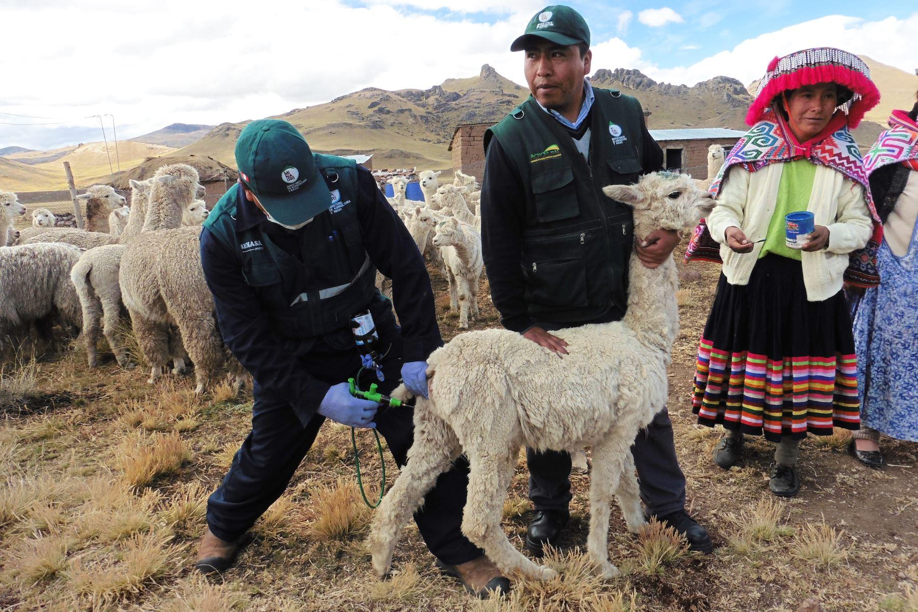 Plan ante heladas y friaje prevé proteger a más de 740,000 cabezas de ganado en Puno ante las bajas temperaturas. ANDINA/Difusión