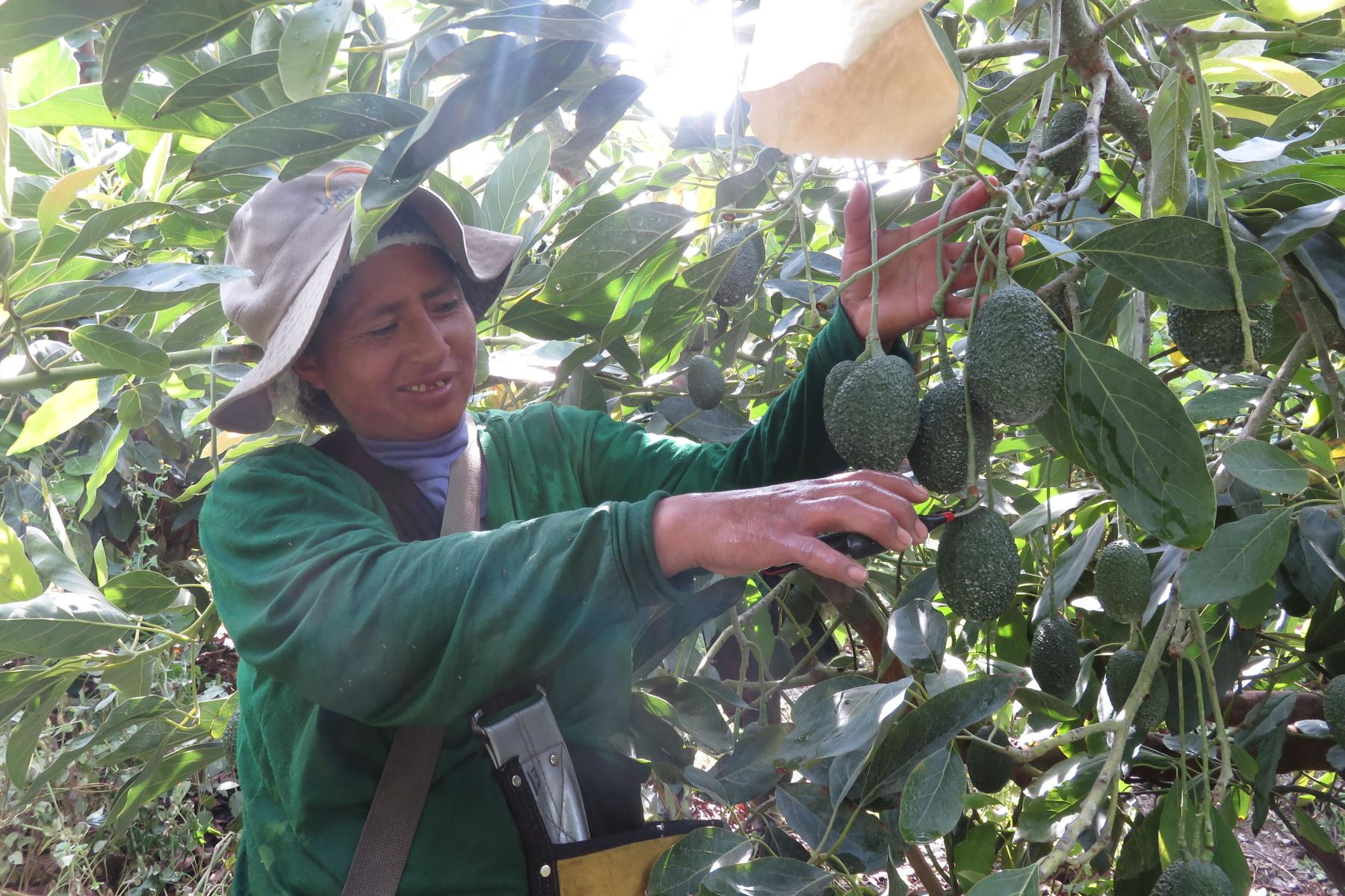 Productores de 143 zonas de producción que cubren casi nueve mil hectáreas de palta Hass de la región La Libertad, se encuentran listos para aprovechar y cumplir los requisitos a fin de ingresar sus productos al nuevo mercado asiático de Tailandia, informó el Ministerio de Agricultura y Riego (Minagri).ANDINA
