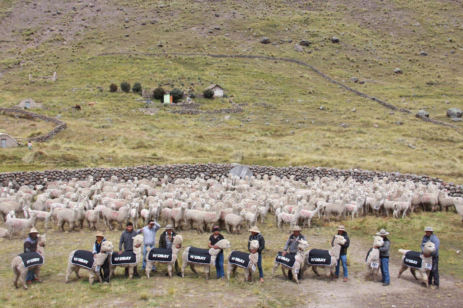 Comunidad campesina Huaylla Huaylla de Cusco impulsará producción de fibra de alpaca con 359 ejemplares donados por minera. ANDINA/Difusión