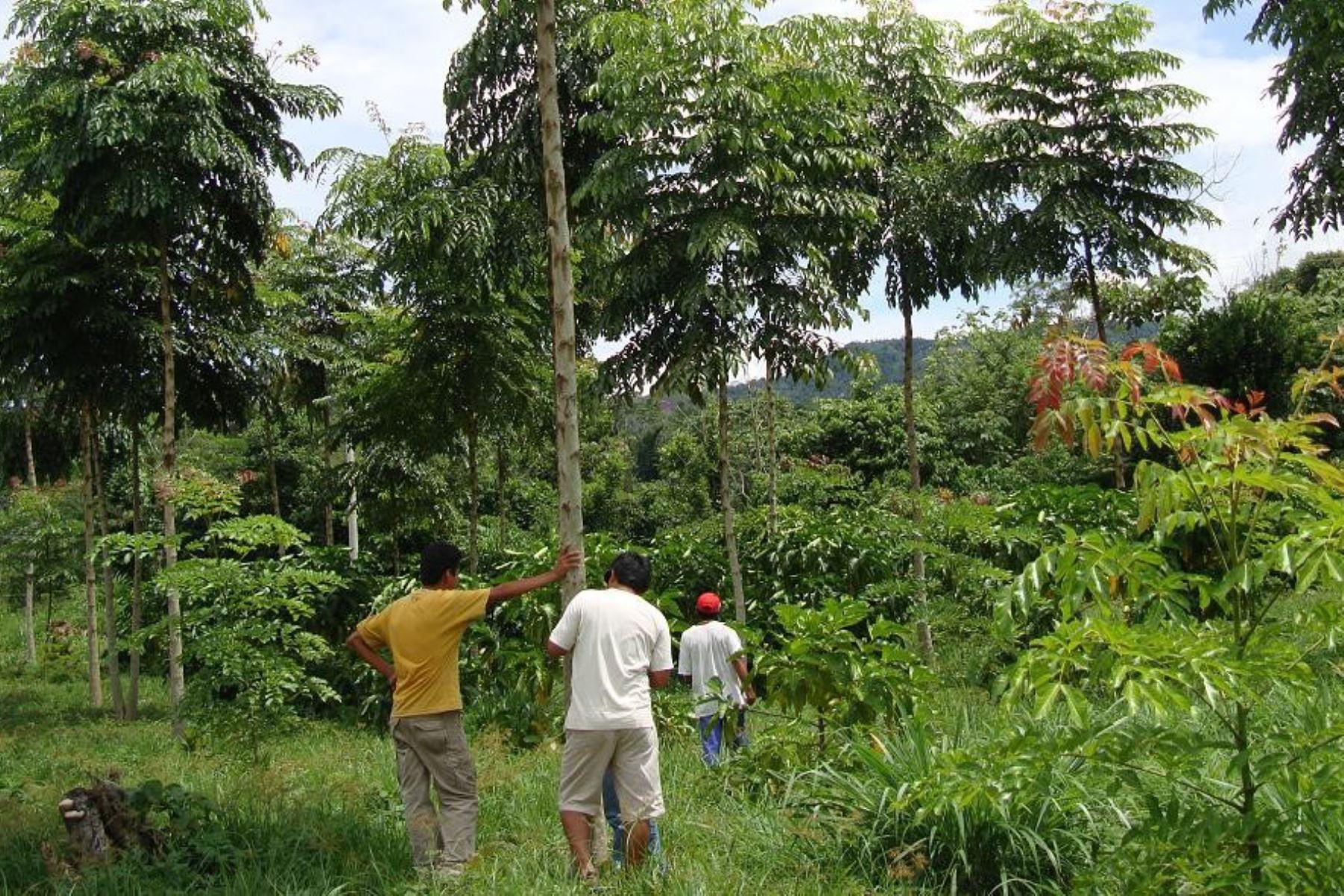 Cajamarca y otras regiones se preparan para celebrar la Semana Forestal Nacional. ANDINA/archivo
