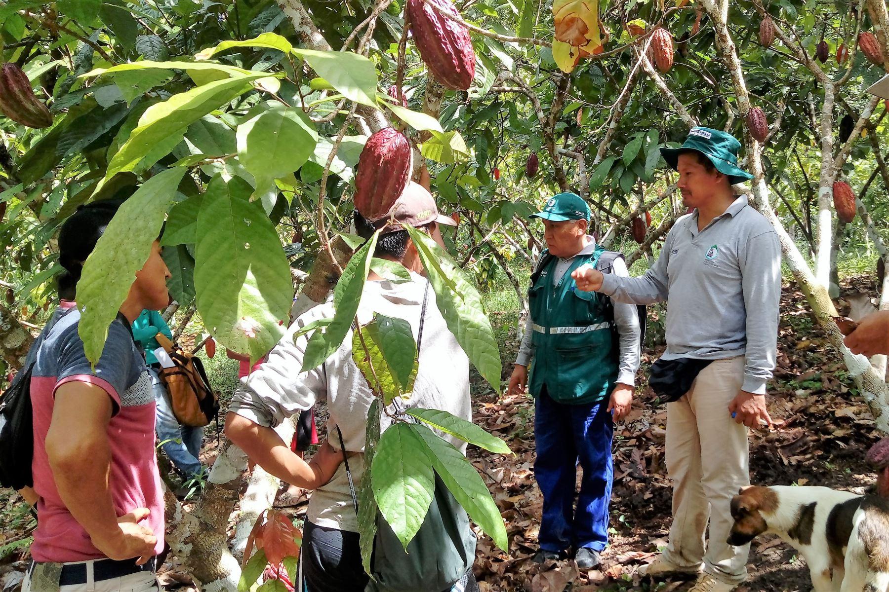 Especialistas del Minagri capacitan a productores de cacao de Ucayali en lucha contra las plagas que afectan ese cultivo. ANDINA/Difusión