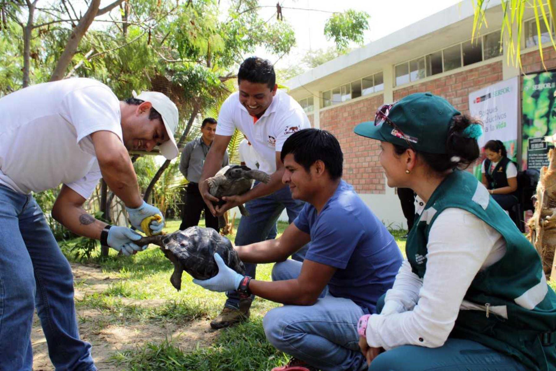 A poco más de un año, las 26 tortugas galápagos que fueron rescatadas en un bus en Piura retornan a Ecuador, su lugar de origen, como resultado de las coordinaciones entre ambos gobiernos, a través del Ministerio de Agricultura y Riego del Perú (Minagri) y el Ministerio del Ambiente del país vecino.