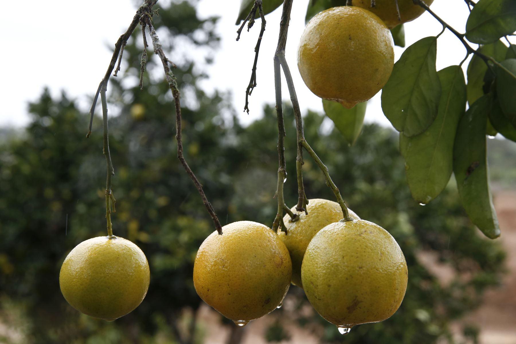 Cultivos de naranja, Chanchamayo. Foto: ANDINA/Melina Mejía