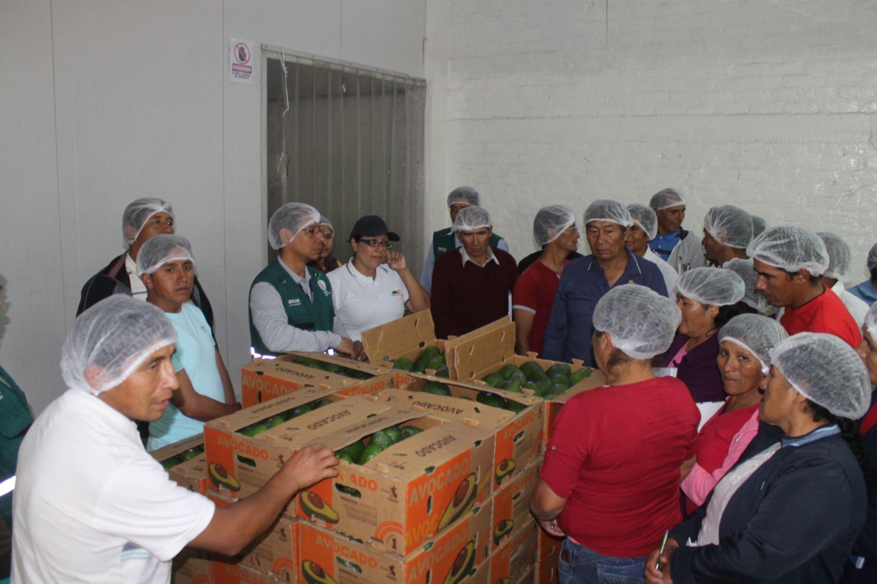 La palta es uno de los productos con mayor potencial exportador de Huancavelica. ANDINA
