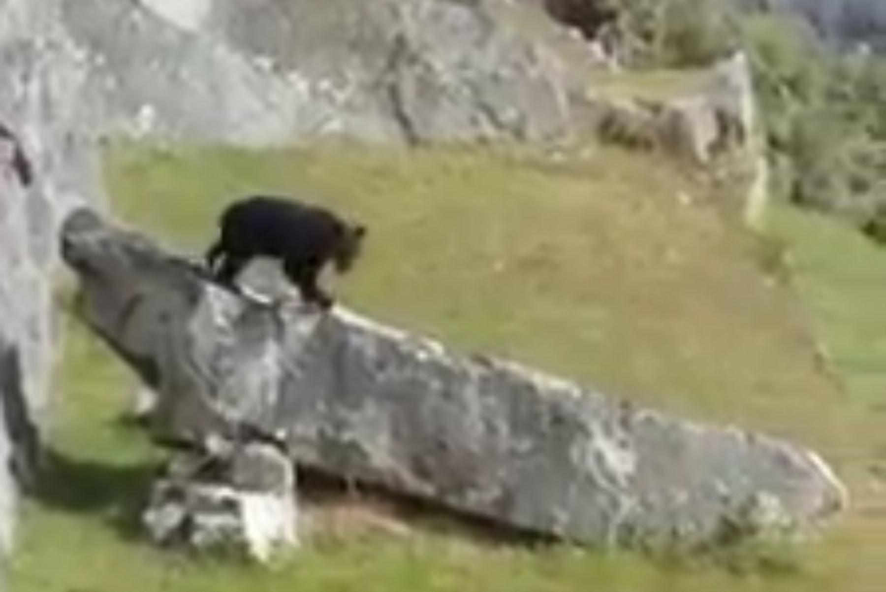 Oso andino es sensación en Facebook al aparecer en Machu Picchu. Foto: Miguel Ángel Córdova Vargas/Facebook