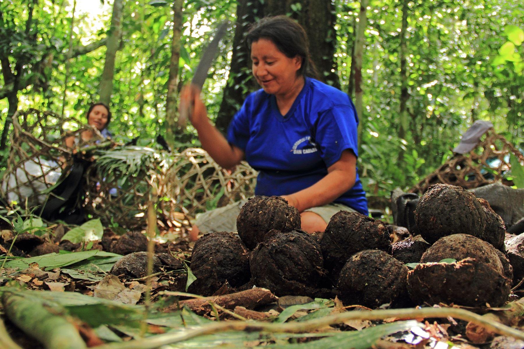 Sernanp y Minam+CAF impulsan proyecto para aprovechar la castaña en la Reserva Nacional Tambopata, en Madre de Dios. Foto: Sernanp/Juan Carlos Huayllapuma