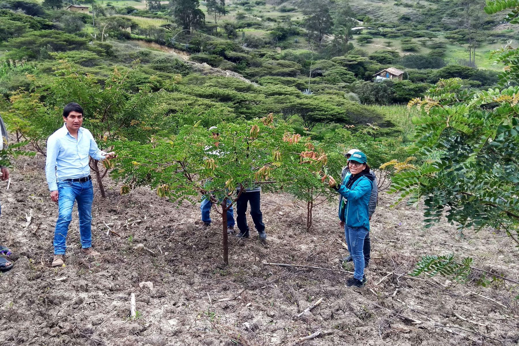 Cajamarca se consolida como el principal productor de tara en el Perú. ANDINA/Difusión