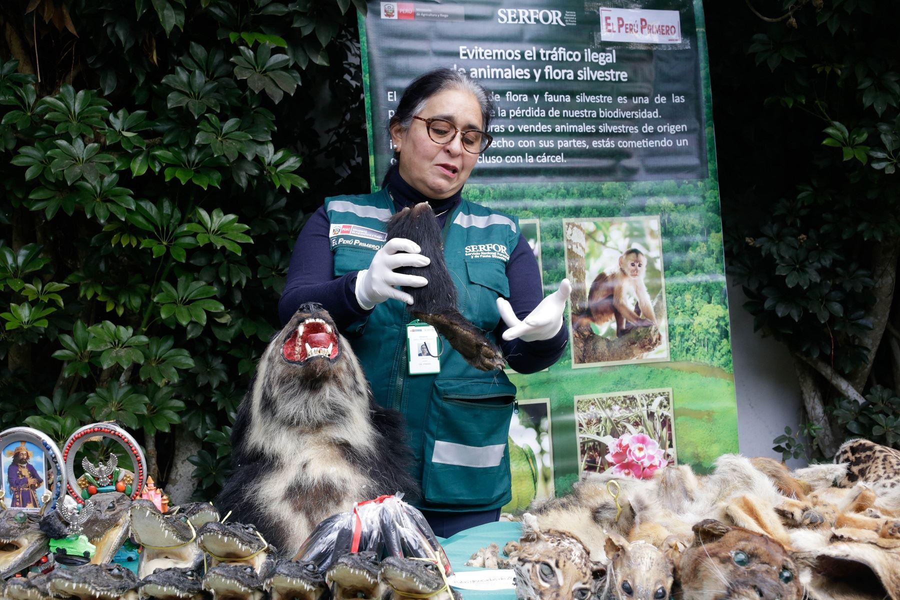 Decomiso de partes de animales silvestres disecadas realizado por personal del Serfor, la Policía Nacional y el Ministerio Público.