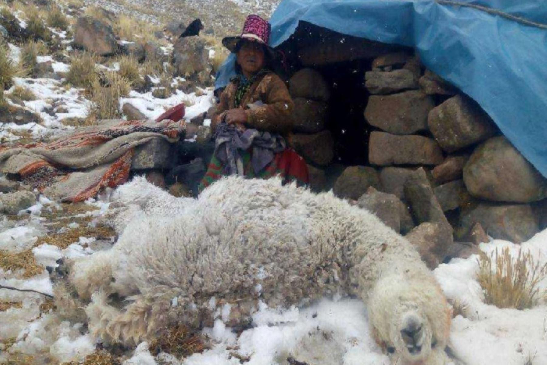 Las nevadas que se registran en la provincia cusqueña de Chumbivilcas han dejado 1,334 alpacas muertas, entre madres y crías en su mayoría; 6,670 enfermas y 667 familias afectadas por infecciones respiratorias agudas, informó la Plataforma de Defensa Civil de dicha jurisdicción.