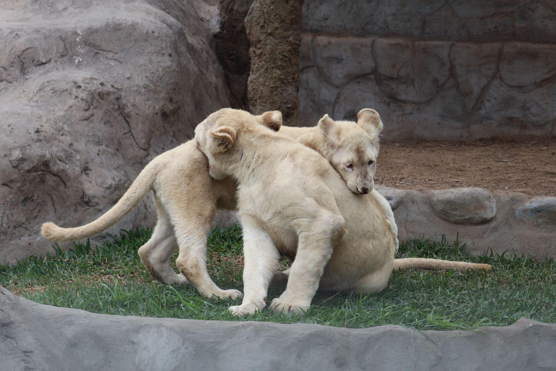 Permanecerán en Tlaxcala los seis cachorros de leones blancos