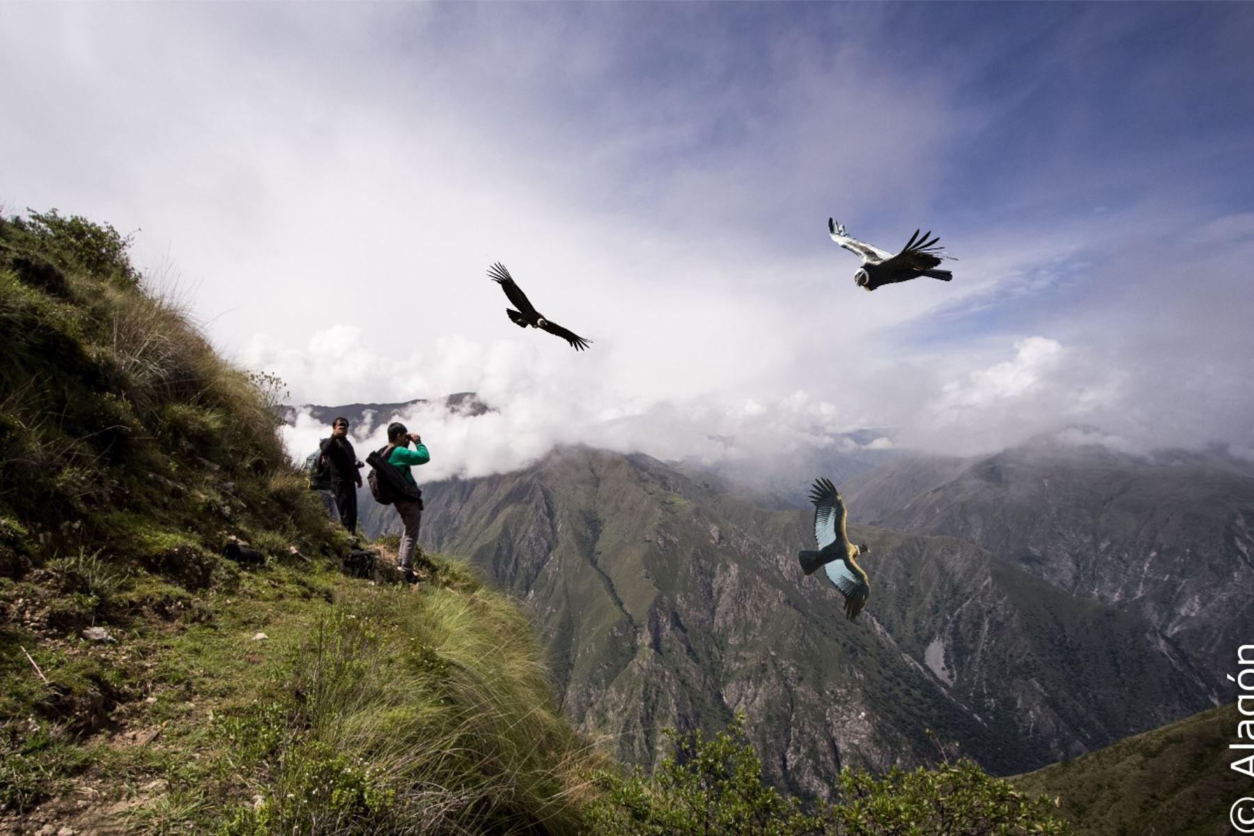 249db31f4d1 Observar el vuelo de un cóndor, el ave rapaz más grande del planeta, es