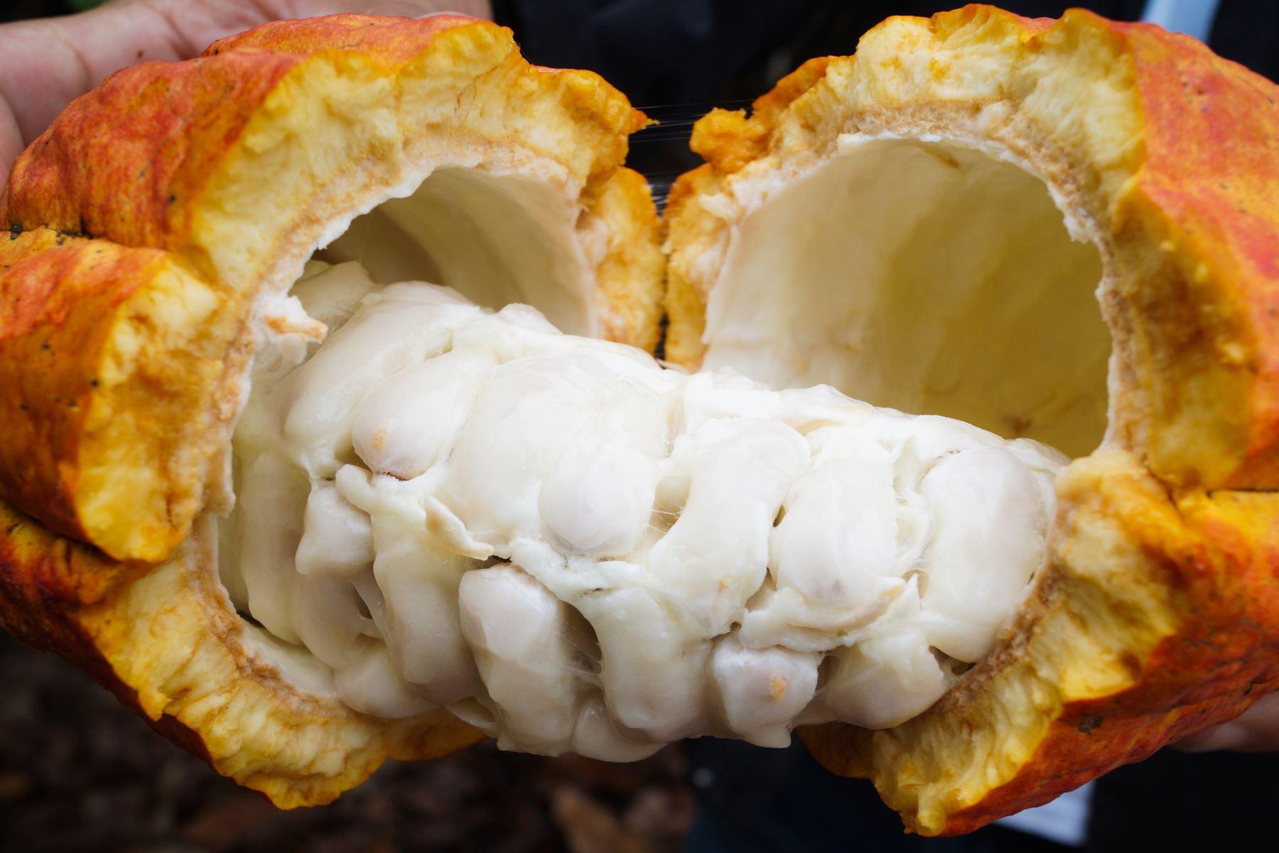 El Perú es actualmente el segundo productor de cacao orgánico en el mundo, cuya calidad es reconocida internacionalmente. Y también es uno de los pocos países donde se cultiva cacao blanco, siendo la región Piura el epicentro donde se siembra y cosecha esta variedad de cacao considerada la mejor del planeta. ANDINA/Difusión