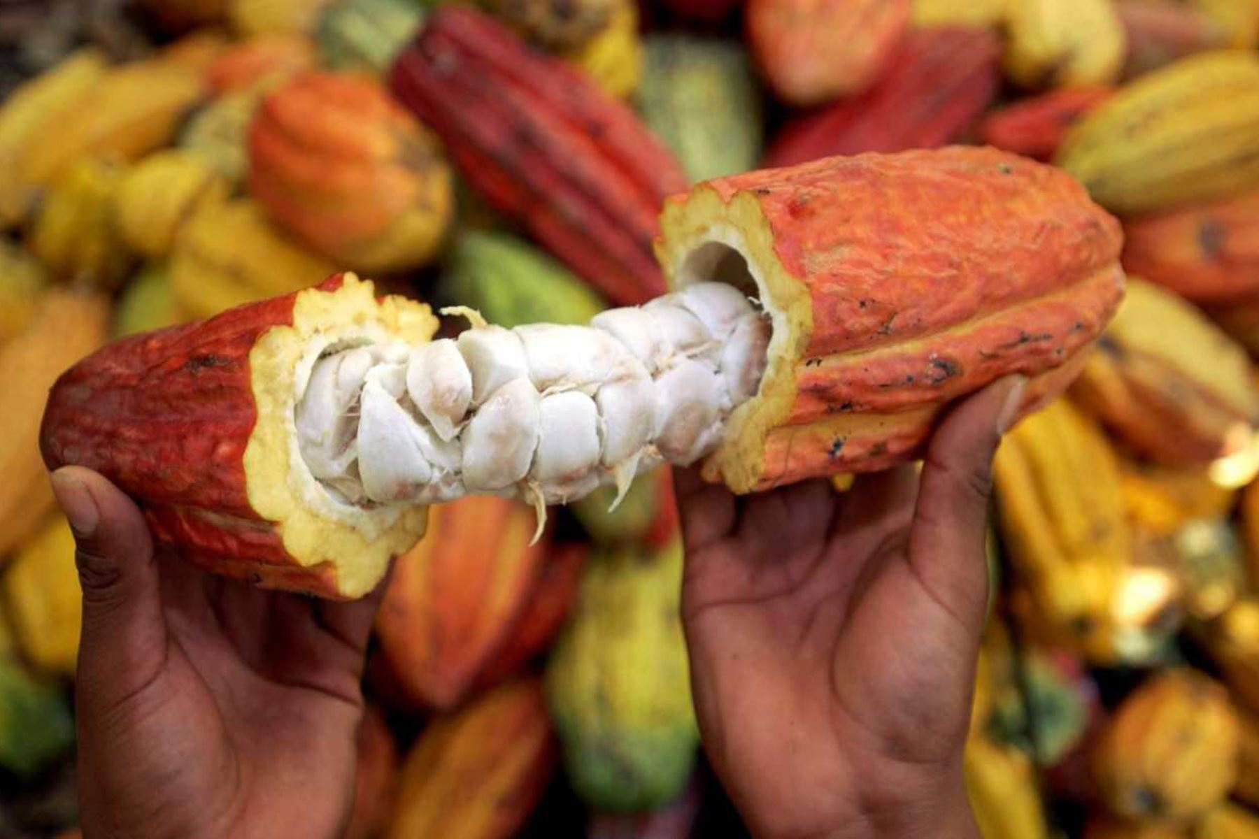 El Concejo Nacional de Ciencia, Tecnología e Innovación Tecnológica (Concytec), a través de su unidad ejecutora Fondecyt, financia proyectos orientados a investigar tecnologías para reducir la absorción de cadmio en la planta de cacao.