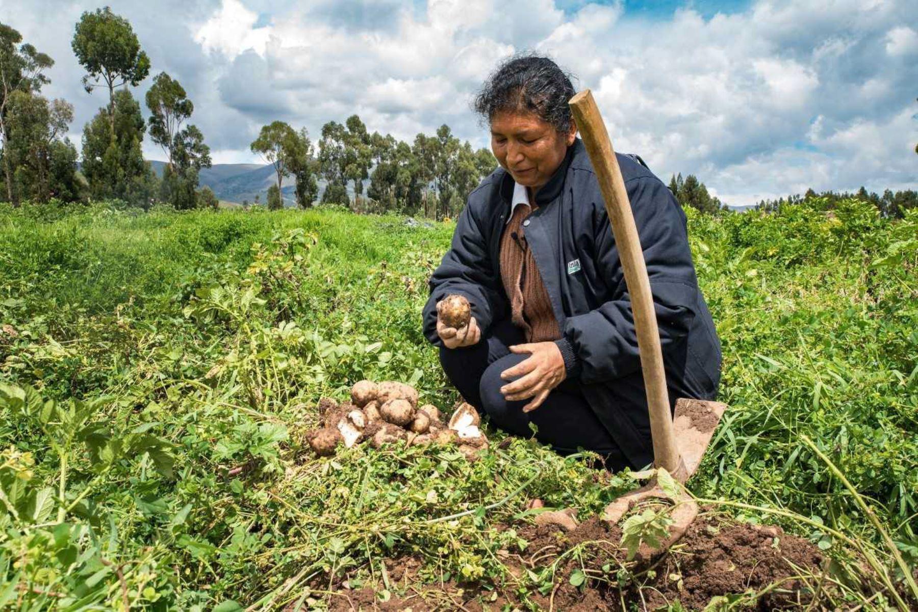 Tras más de dos años de desarrollar diversos análisis e investigaciones, el Instituto Nacional de Innovación Agraria (INIA) identificó en la sierra del Perú nuevas variedades de papa con resistencia genética a efectos del cambio climático, mejorando la competitividad del cultivo con el incremento de la producción.