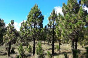 El pino es la plantación forestal con el mayor potencial maderable de Cajamarca. ANDINA/Difusión
