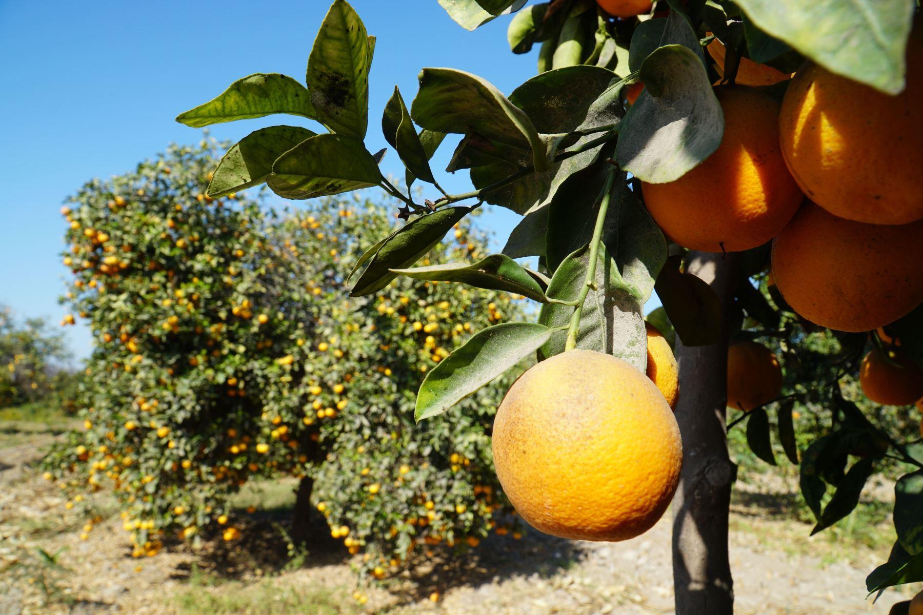 El distrito de Sayán, región Lima, celebrará el Festival de la Naranja este fin de semana largo por el día de Santa Rosa de Lima. ANDINA/Difusión