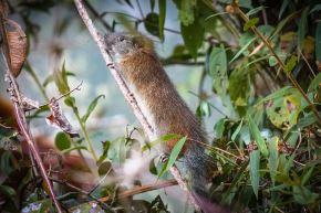 Hallan rara especie de roedor en Santuario Histórico de Machu Picchu. Foto: Sernanp/Johnny Pérez Cruz y William Yucra Sullca