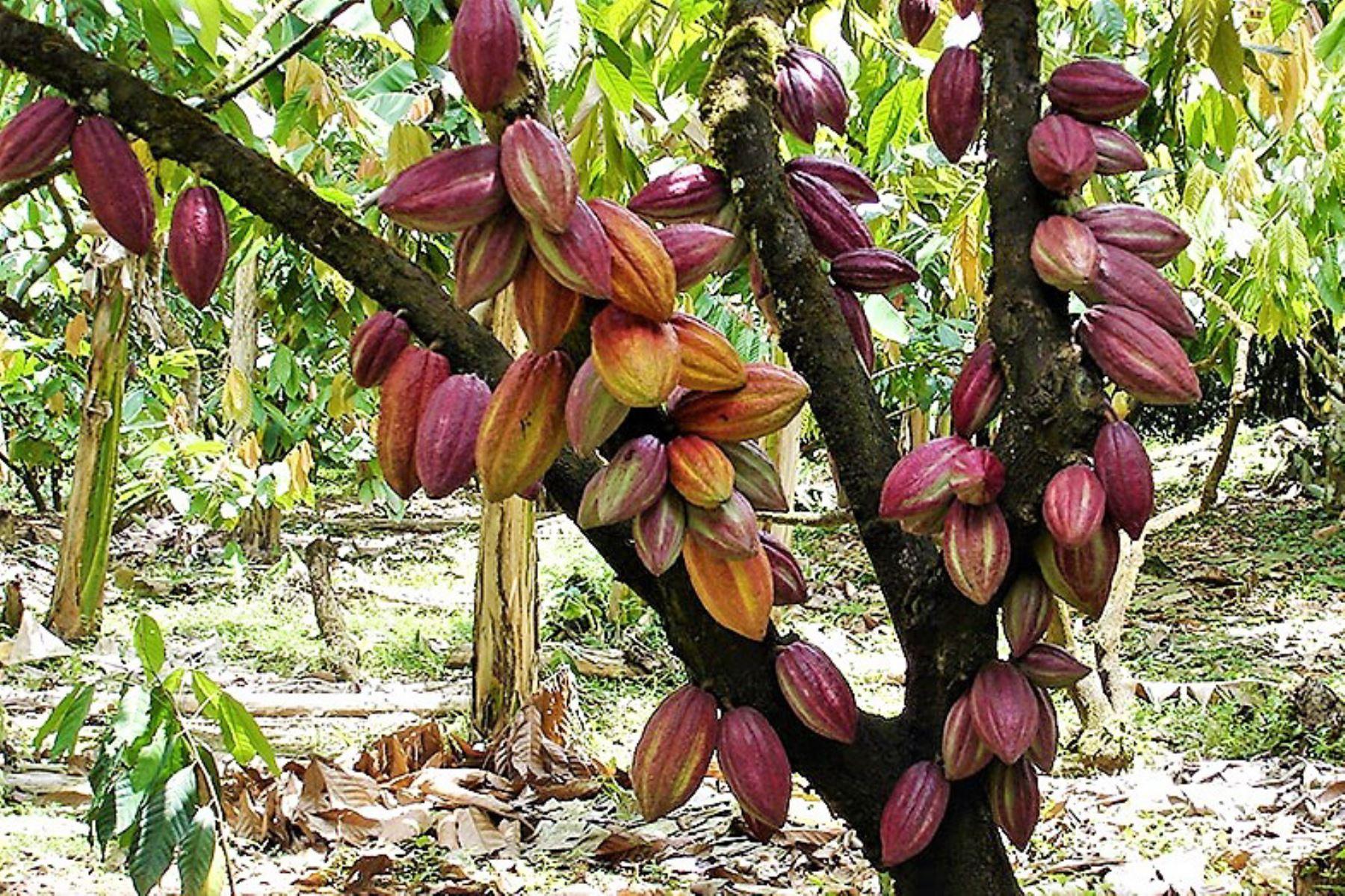 Cacao peruano. Foto: ANDINA/Difusión