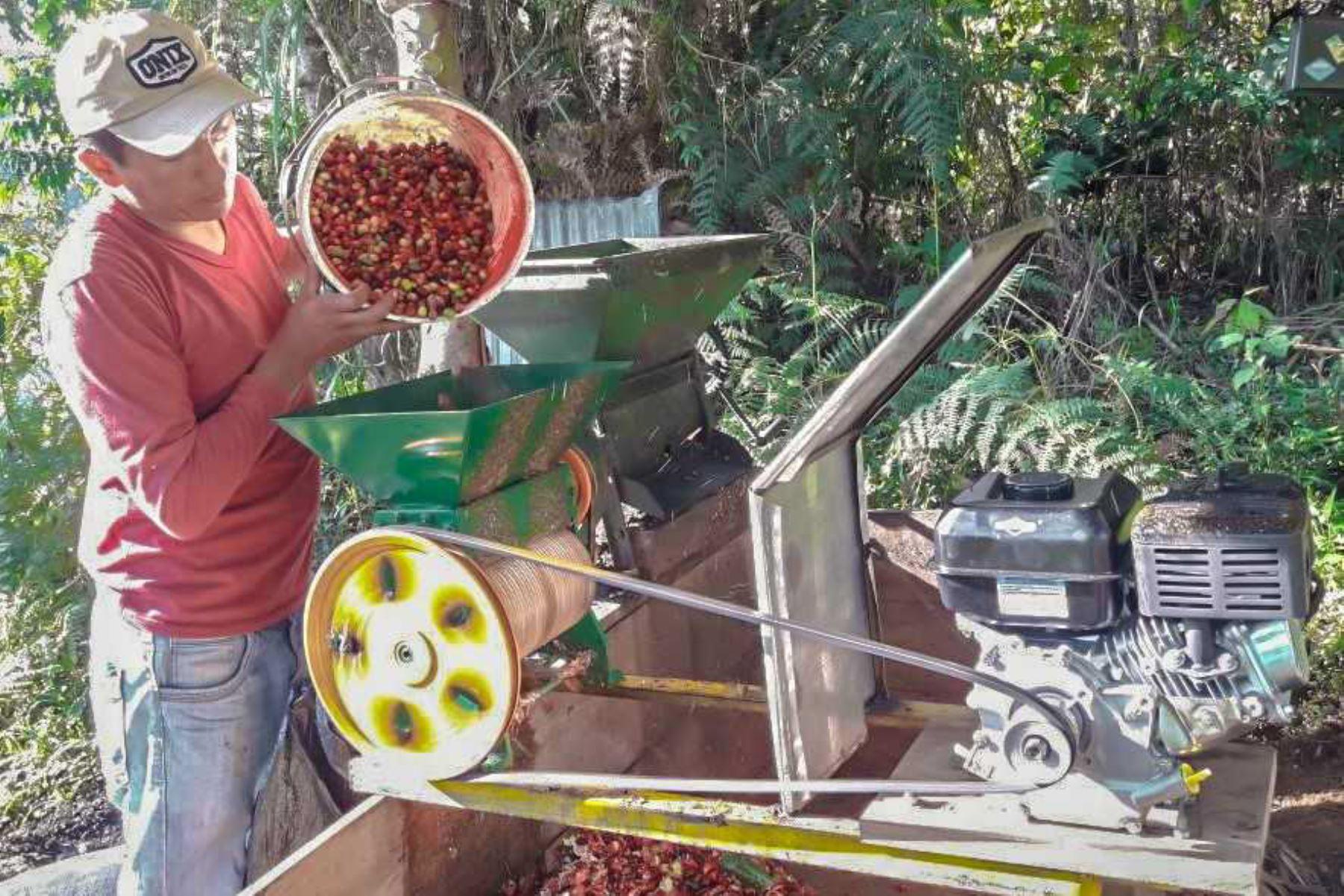 Unas 730 hectáreas de cultivos de hoja de coca fueron reconvertidos a cafetales en el Valle de los Ríos Apurímac, Ene y Mantaro (Vraem), en beneficio de 677 productores agropecuarios en el marco de la Ley 29736, de Reconversión Productiva Agropecuaria.