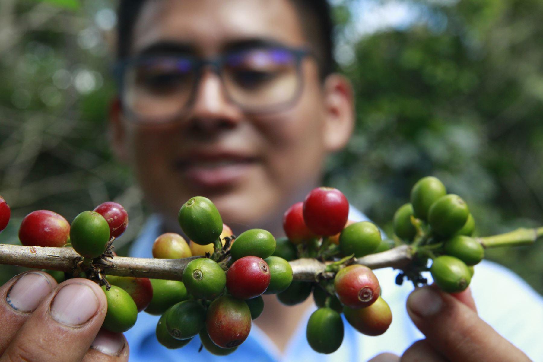 El Indecopi destacó que el café peruano cuenta con dos denominaciones de origen: Café Villa Rica (que se produce en la región Pasco) y Café Machu Picchu-Huadquiña (en la región Cusco), que le da mayores oportunidades de posicionamiento en el país y acceso al mercado internacional. ANDINA/Eddy Ramos