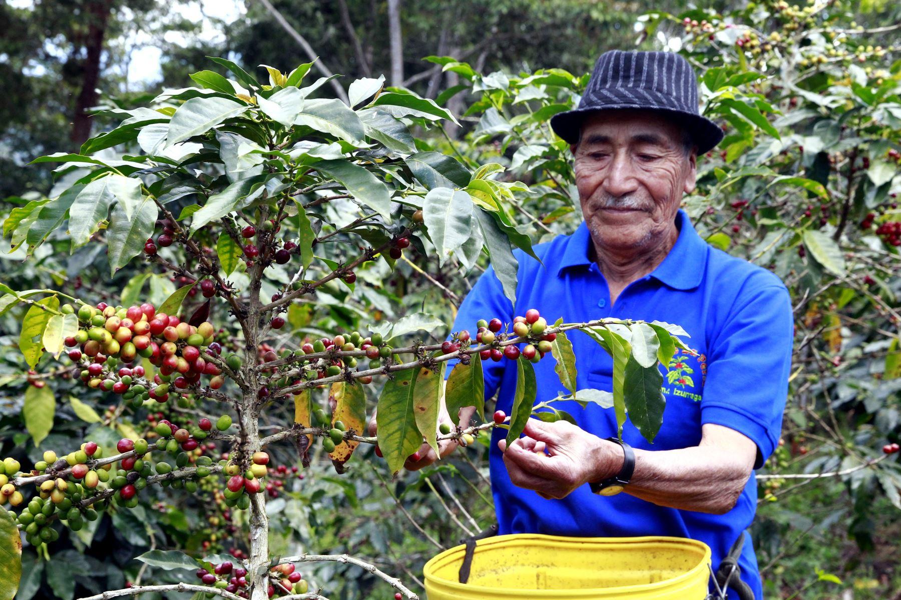 el Sistema Nacional de Evaluación, Acreditación y Certificación de la Calidad Educativa (Sineace) certifica las competencias de los productores de plantones de café, a fin de que se mantenga su calidad. ANDINA/Eddy Ramos