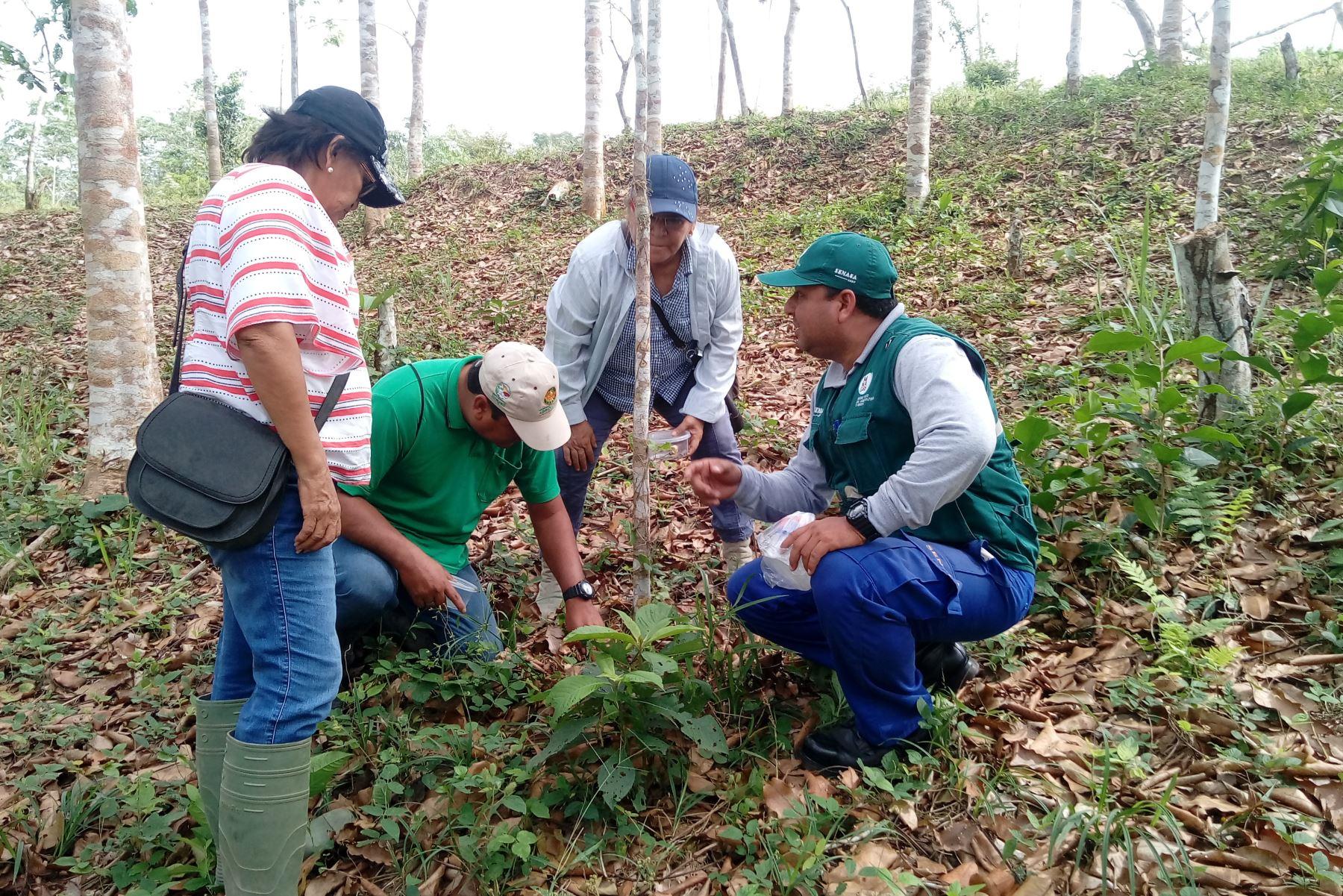 Productores de Ucayali realizan control biológico frente a plagas forestales. ANDINA/Difusión