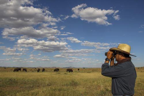 Una manada de bisontes americanos se reproduce en el rancho El Uno, municipio de Janos, estado de Chihuahua, México. Foto: AFP.