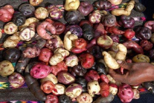 El Perú tiene más de 3,500 variedades de papa, la mayor del mundo, y son más de 700,000 las familias que viven de su cultivo en 19 regiones productoras. ANDINA/Difusión