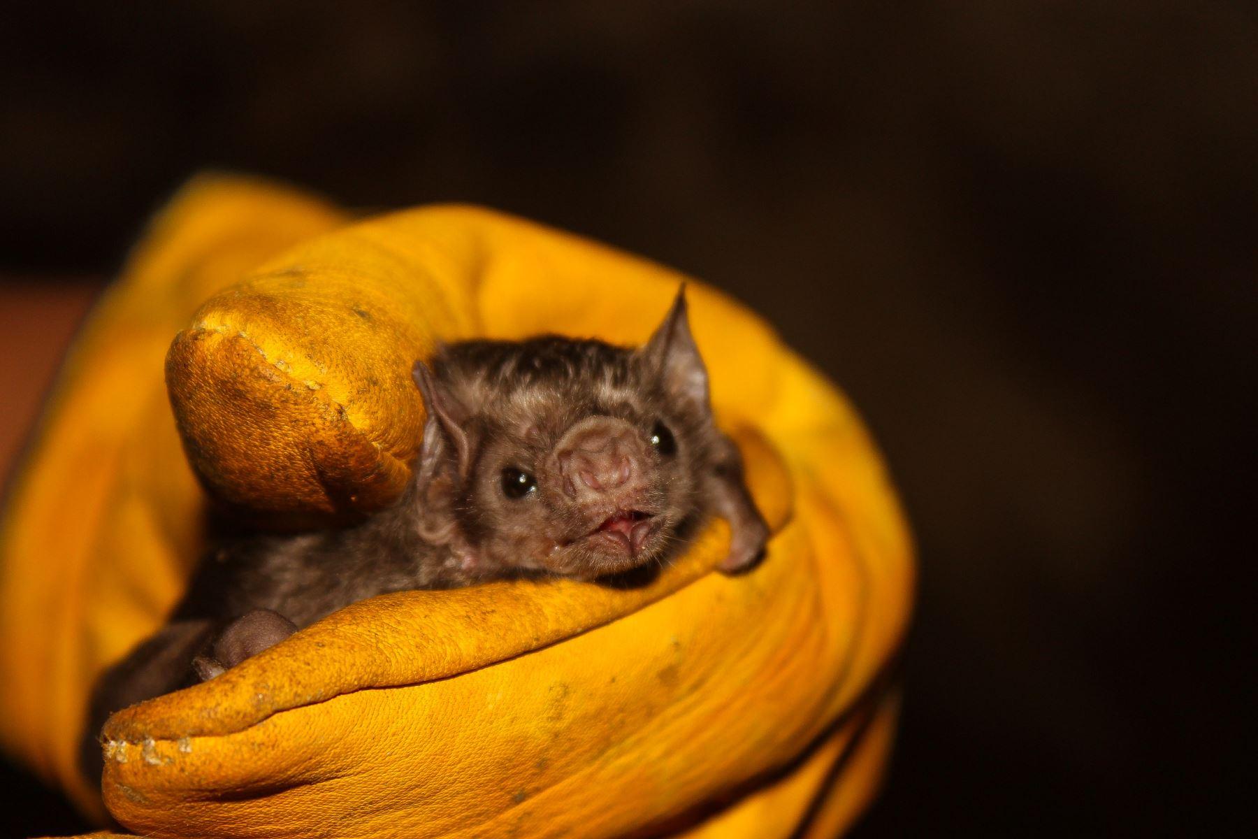 La pandemia del coronavius ha generado un temor infundado hacia los murciélagos, al considerarlos como vector de esta y otras enfermedades y, por lo tanto, una amenaza para los humanos. Sin embargo, lo cierto es que estos animales brindan muchos beneficios al equilibrio ecológico, precisó el Servicio Nacional Forestal y de Fauna Silvestre (Serfor). ANDINA/Difusión