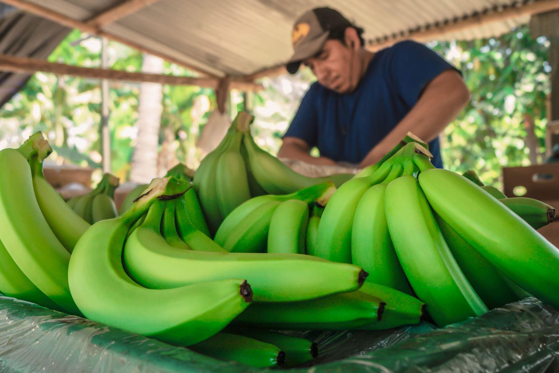 Impulsan cultivo de banano orgánico con fines de exportación en Piura. ANDINA/Difusión