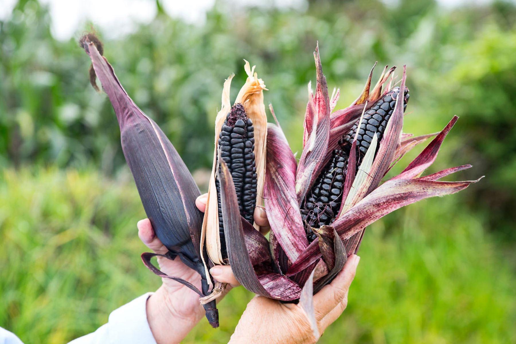 INIA investiga variedades de maíz morado con poderosas propiedades medicinales. ANDINA/Difusión