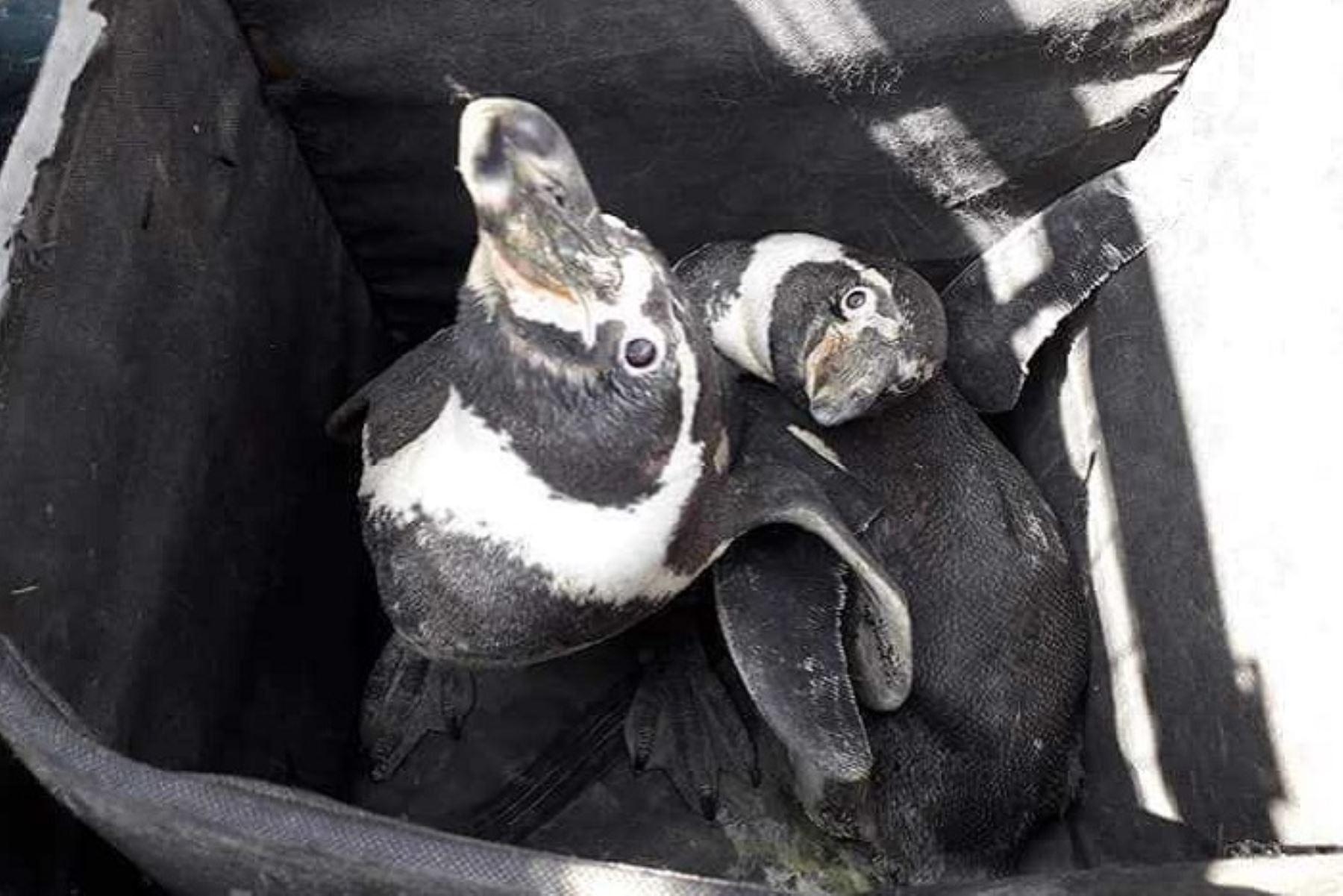 Hallan dos pingüinos de Humboldt deambulando por distrito de Nuevo Chimbote