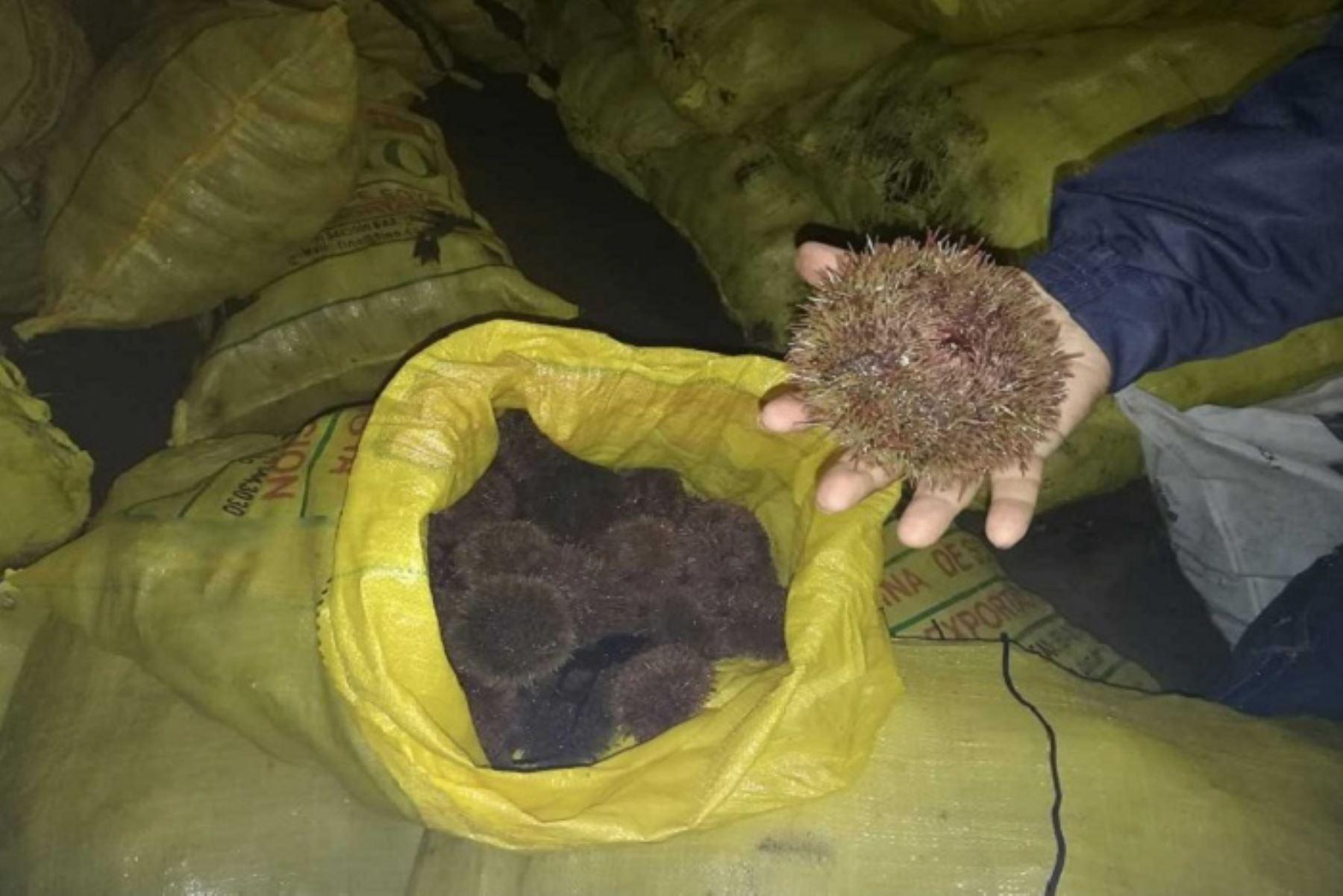Sanipes decomisa en Ilo 2,400 kilos de erizo de procedencia desconocida