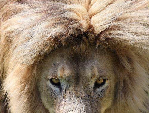 El león rescatado Saeed es fotografiado en su recinto cercado en el santuario Lions Rock Big Cat Santuary en Warden, Sudáfrica Foto: EFE