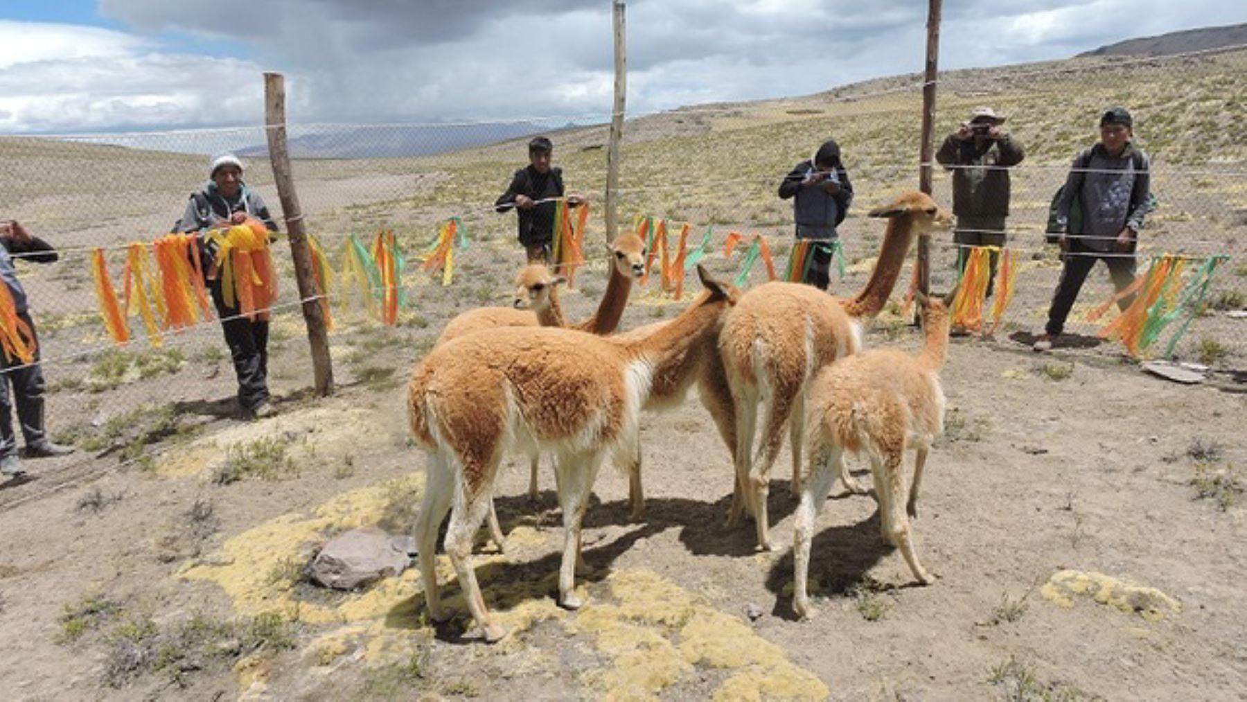 Con chaccu ponen en marcha primer plan de manejo de fibra de vicuña en la Reserva Paisajística Subcuenca del Cotahuasi, en la región Arequipa.