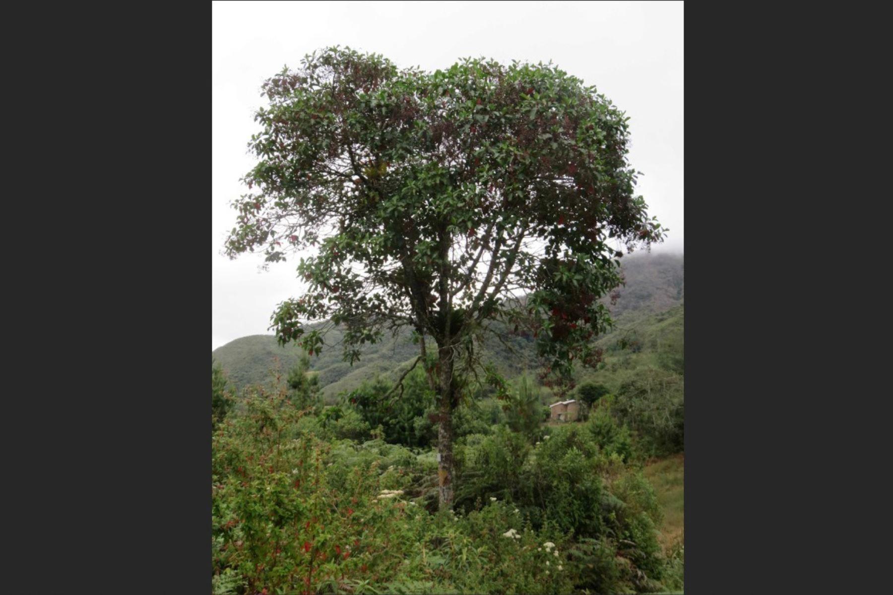 La quina, el árbol nacional de Perú libra batalla para sobrevivir. AFP