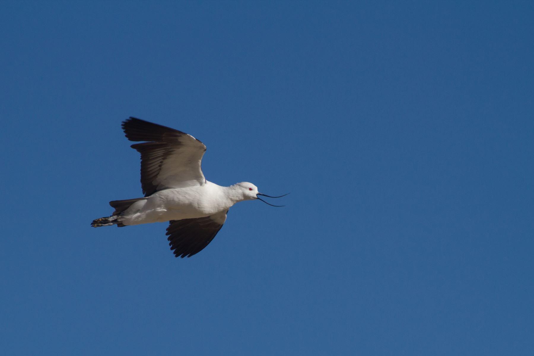 Majestuoso valle arequipeño del Colca alberga 132 aves