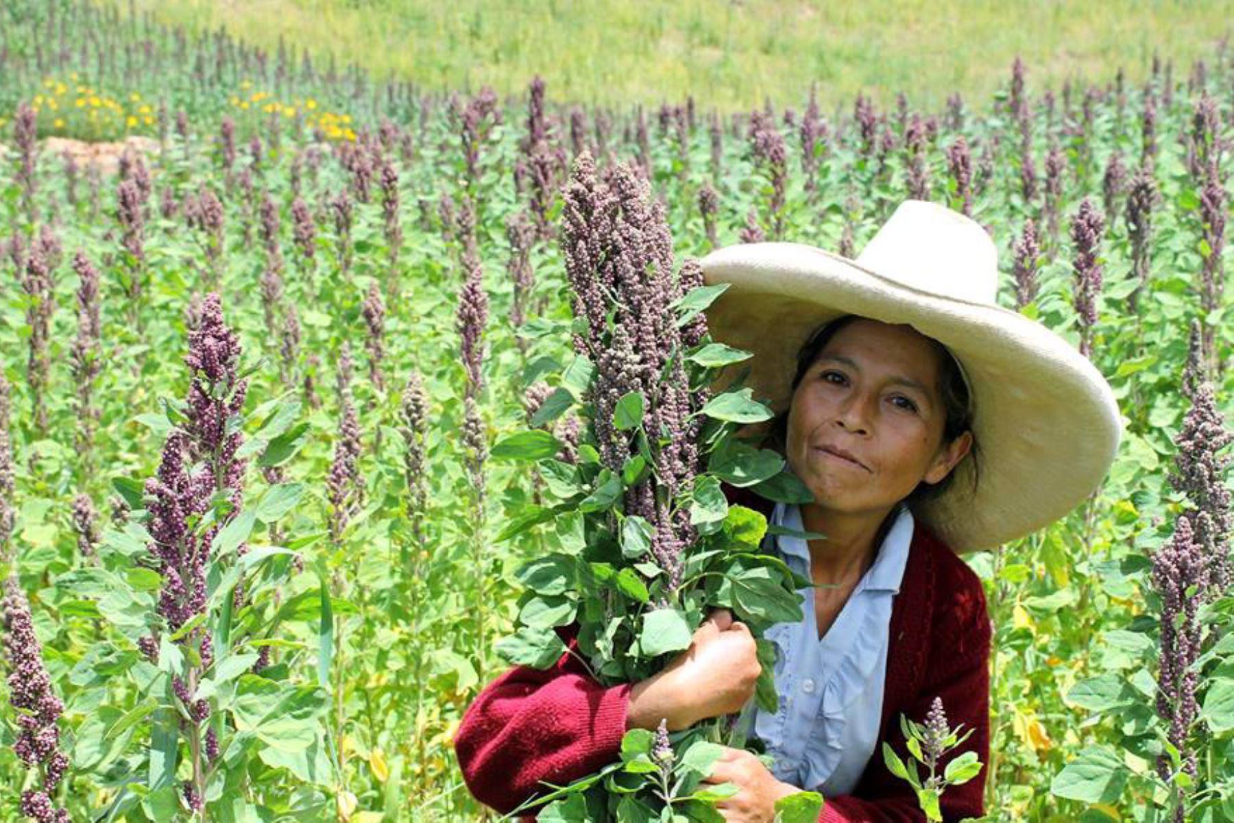 La ventaja de la quinua orgánica de Cajamarca, comparada con la de otras regiones, es que tiene un grano más grande.