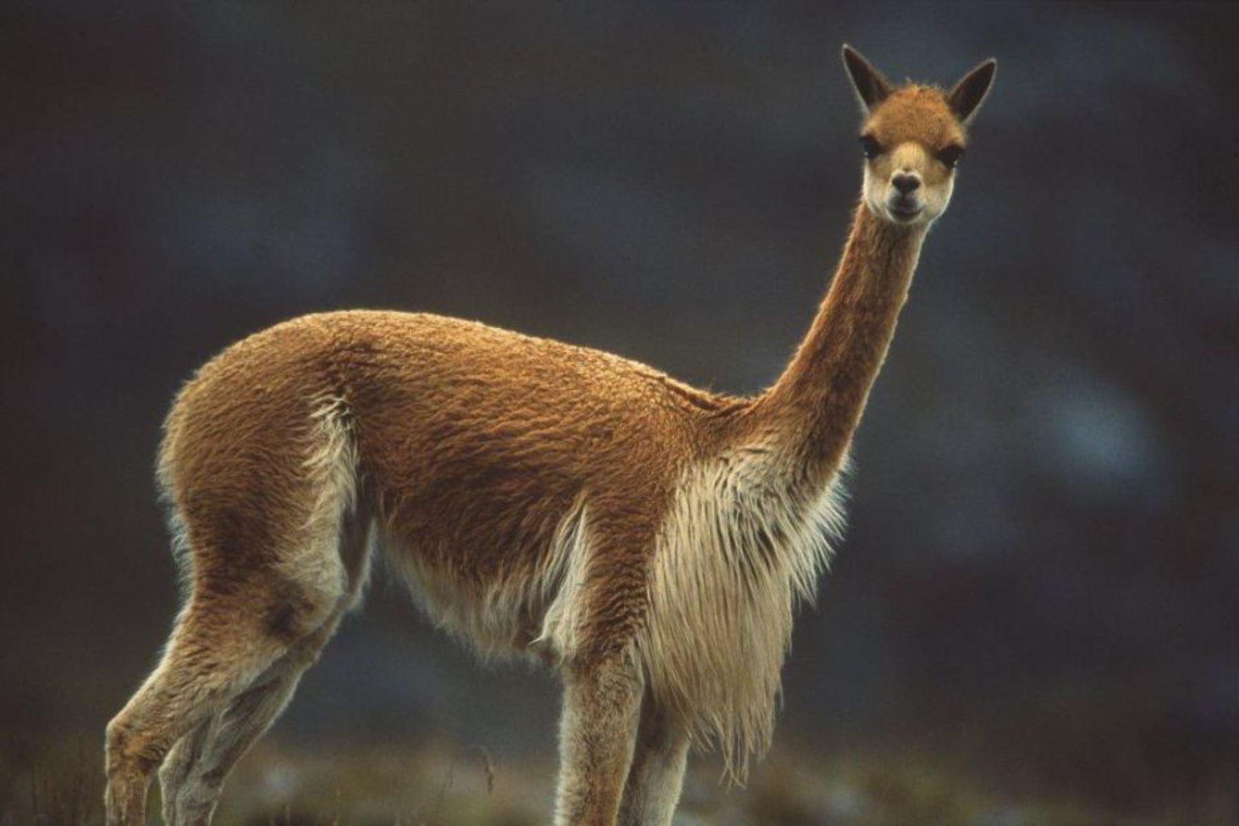 Las vicuñas poseen una de las fibras más finas del planeta. ANDINA/Difusión