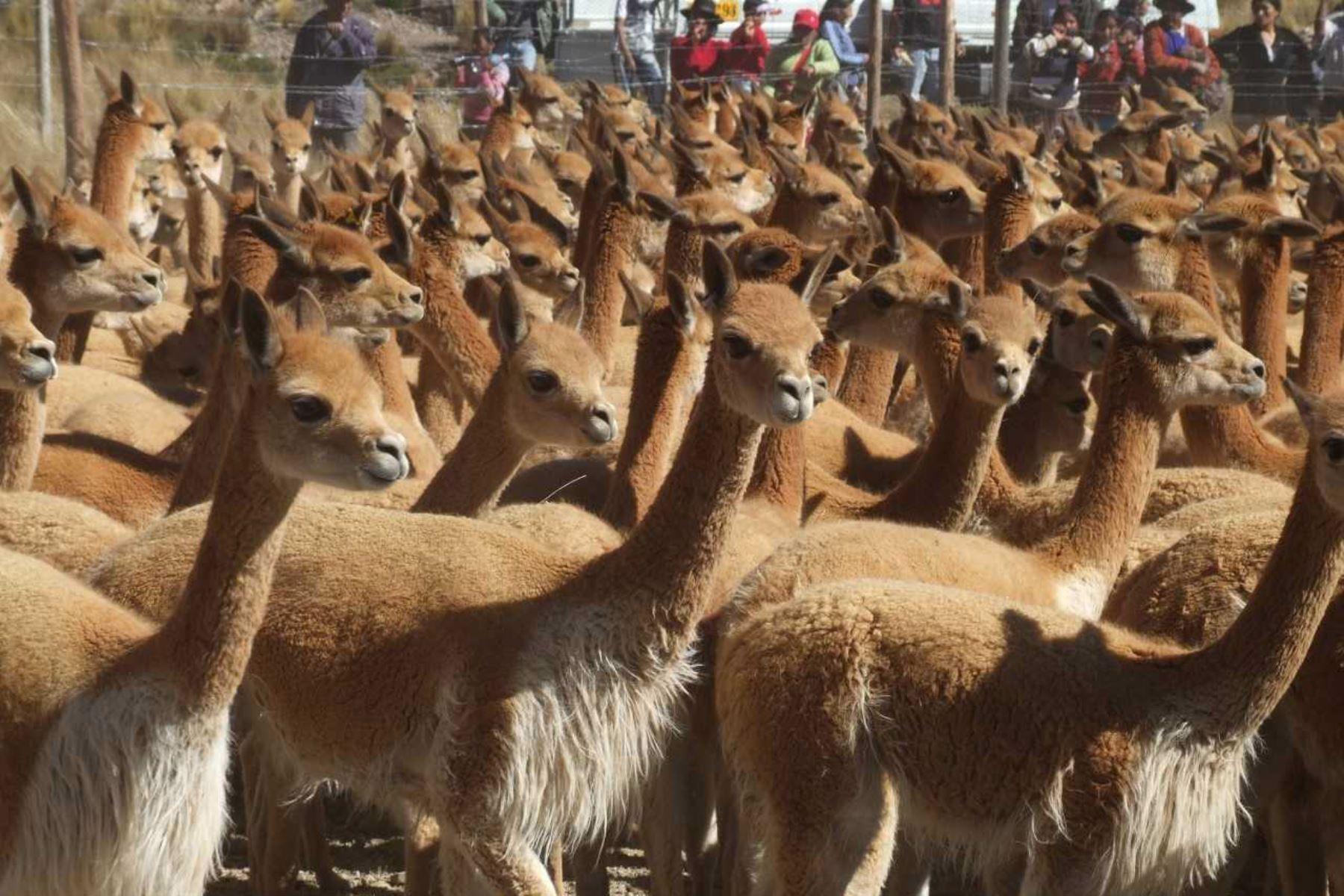 Día Nacional de la Vicuña: población crece en 1,000% en Reserva Nacional Pampa Galeras