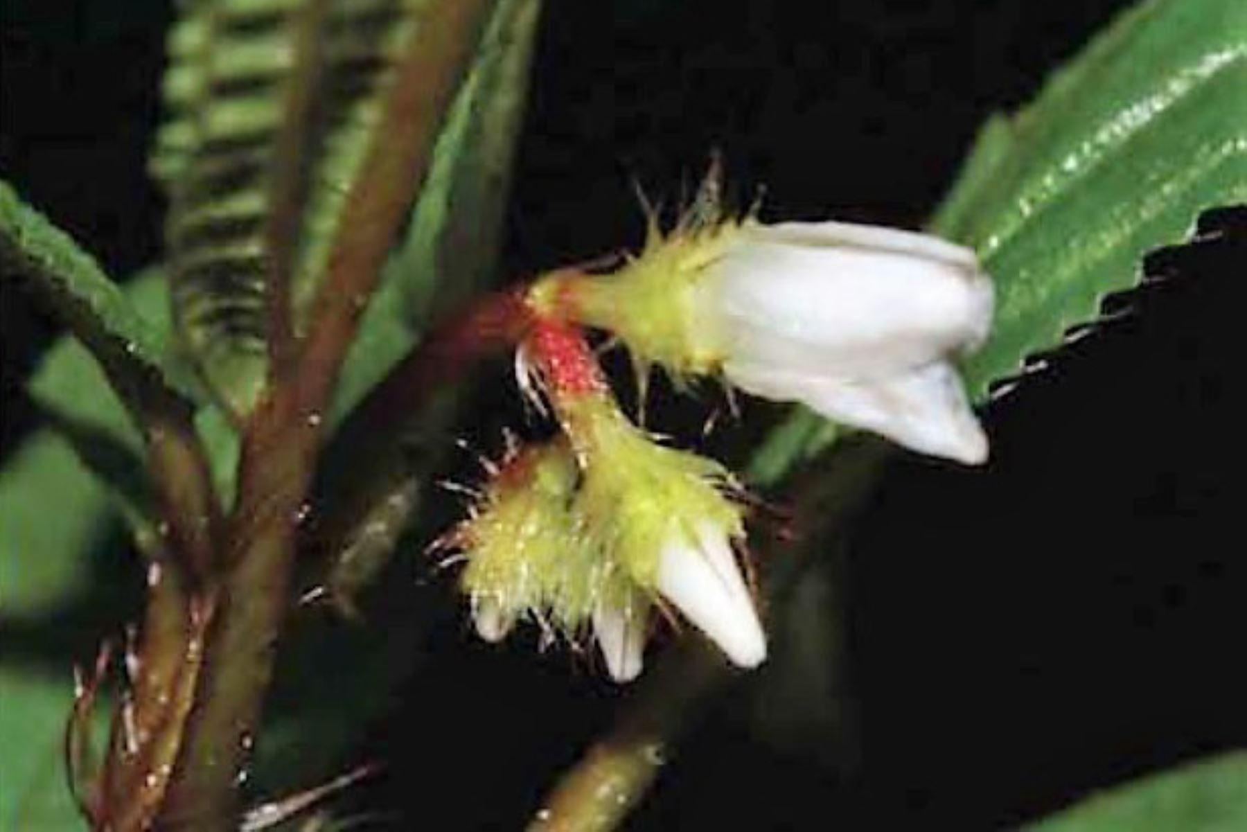 Descubren seis nuevas especies de plantas en el Parque Nacional Yanachaga Chemillén, ubicado en Pasco. Foto: Sernanp