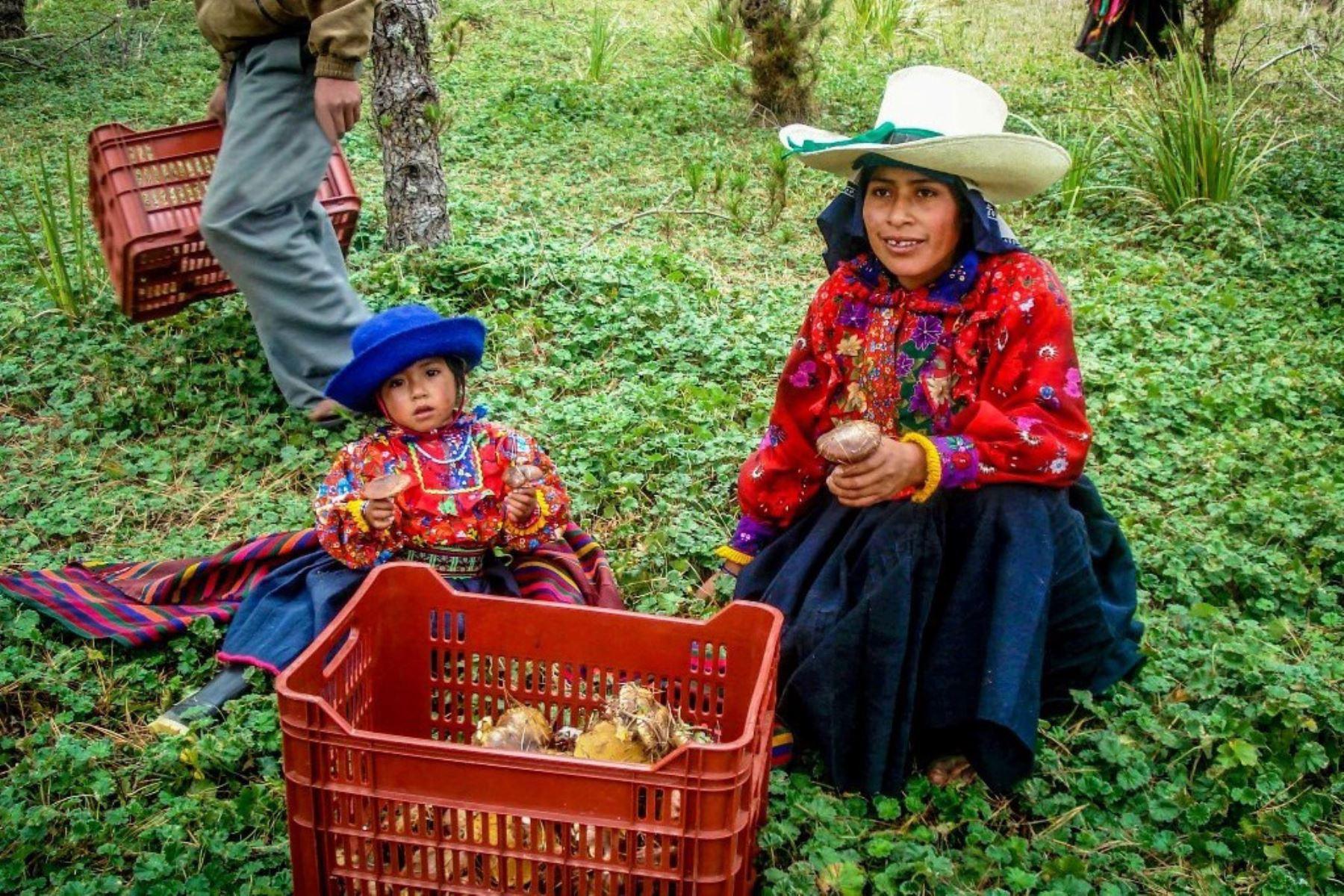 Exportarán hongos comestibles de Incahuasi, en Lambayeque, al mercado alemán. ANDINA