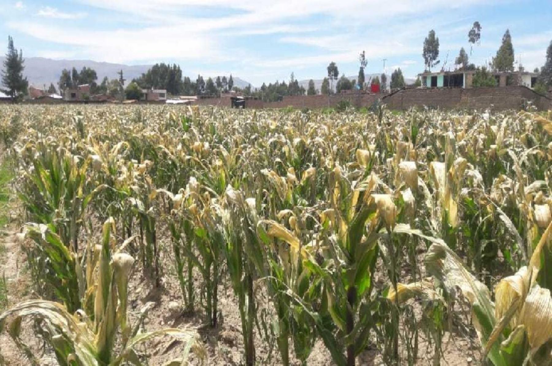Una inusual nevada que se registró en los últimos días en la zona andina de la región Junín afectó más de 40,000 hectáreas de cultivos de panllevar, que se hallan en etapa de floración, sobre todo de maíz, choclo y papa.